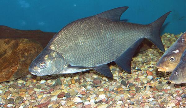 Фото: Рыба лещ