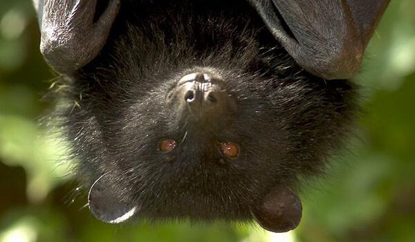 Фото: Черная летучая лисица