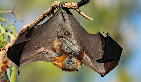 Фото: Летучая лисица из Красной книги