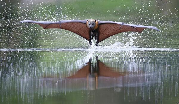 Фото: Летучая лисица в полете