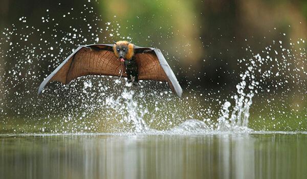Фото: Как выглядит летучая лисица