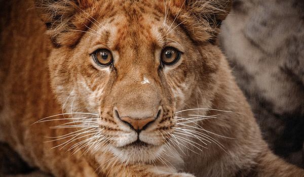 Фото: Новосибирский лигр
