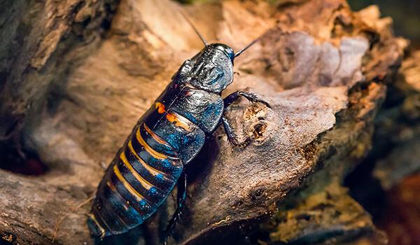 Фото: Мадагаскарский таракан