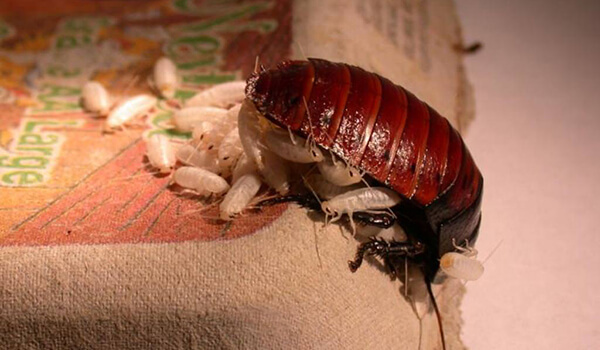 Фото: Детеныши мадагаскарского таракана
