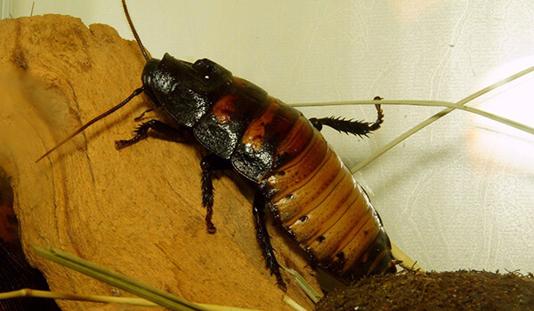 Фото: Самец мадагаскарского таракана
