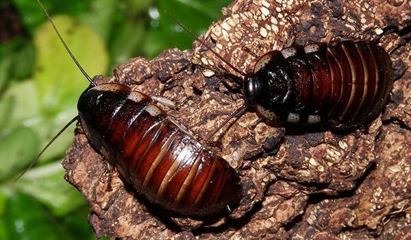 Фото: Самка мадагаскарского таракана