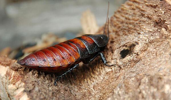 Фото: Мадагаскарский шипящий таракан