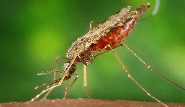 Фото: Большой малярийный комар