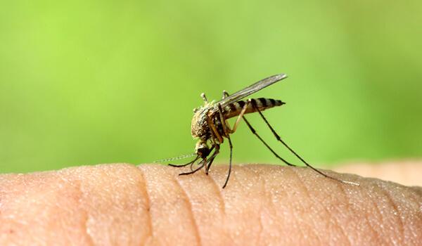 Фото: Как выглядит малярийный комар