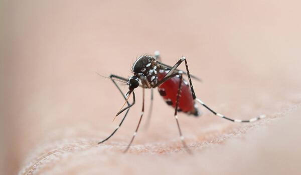 Фото: Уральский малярийный комар