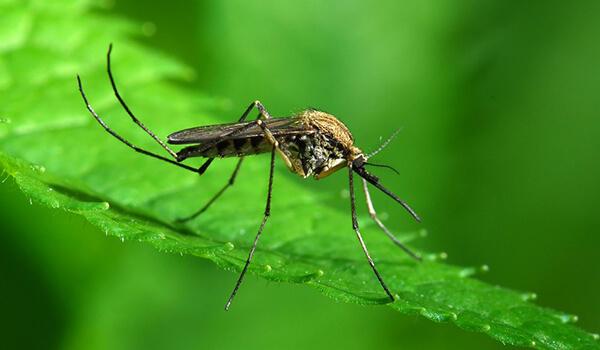 Фото: Малярийный комар