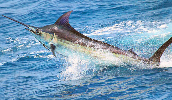 Фото: Рыба марлин