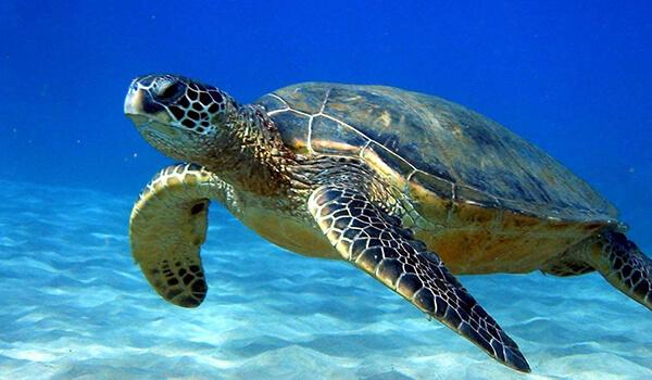 Фото: Морская черепаха в воде