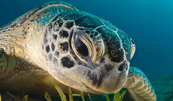 Фото: Морская кожистая черепаха