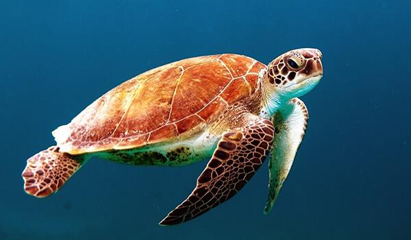 Фото: Как выглядит морская черепаха