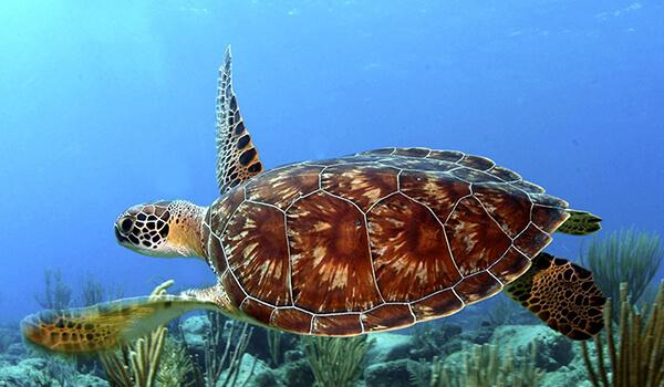 Фото: Морская черепаха в море