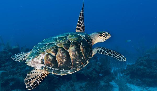 Фото: Морская черепаха из Красной книги