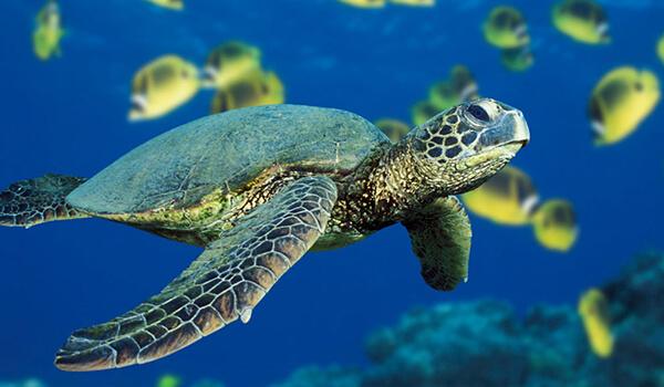 Фото: Зеленая морская черепаха