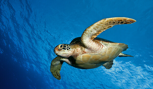 Фото: Морская черепаха