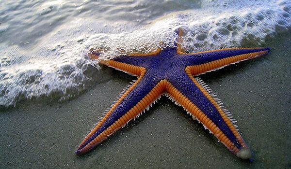 Фото: Как выглядит морская звезда