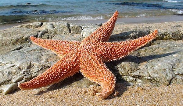 Фото: Морская звезда