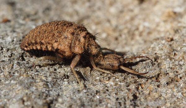 Фото: Личинка муравьиного льва