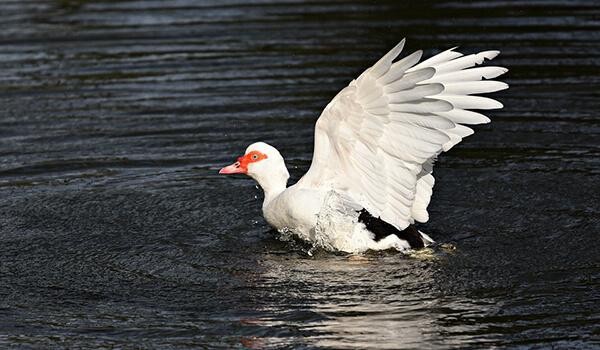 Фото: Мускусная утка на воде