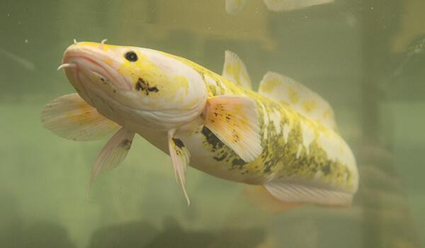 Фото: Речная рыба налим