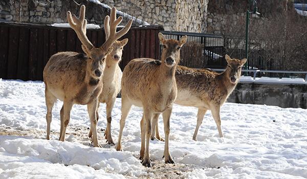 Фото: Олень Давида зимой