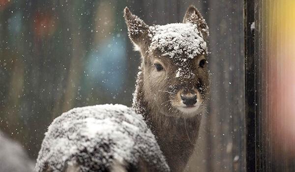 Фото: Детеныш оленя Давида