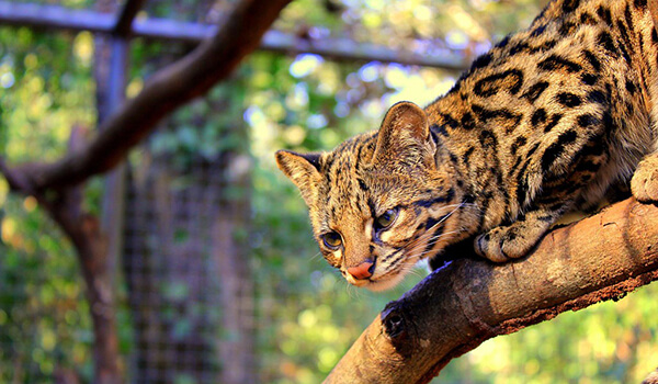 Фото: Кошка онцилла