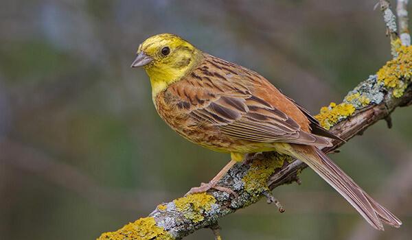 Фото: Птица овсянка