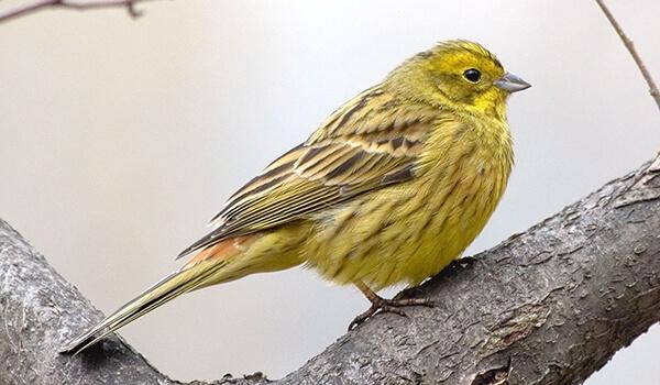 Фото: Желтая овсянка