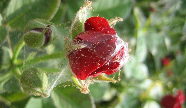 Фото: Паутинный клещ на растении