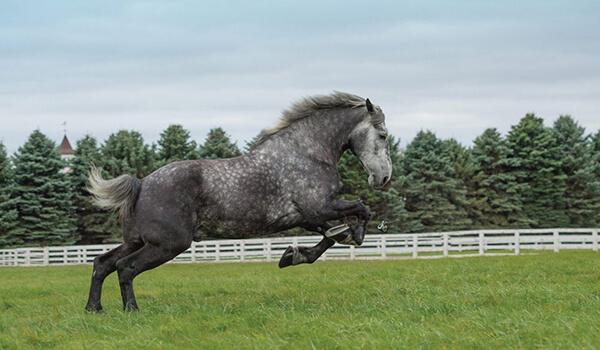 Фото: Лошадь першерон