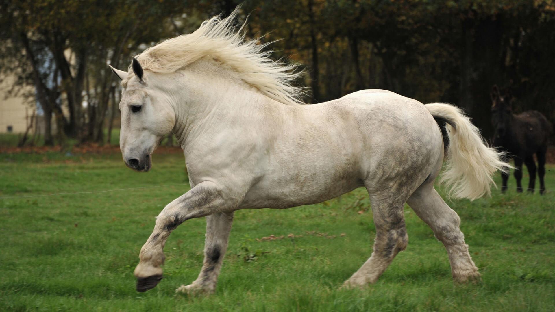 История происхождения лошадей першерон; развитие породы в России