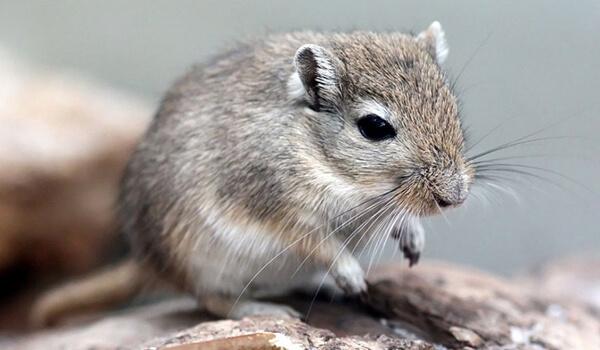 Фото: Мышь песчанка