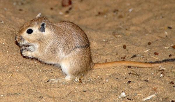 Фото: Как выглядит песчанка
