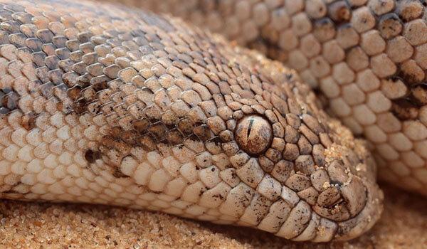 Фото: Змея песчаный удавчик