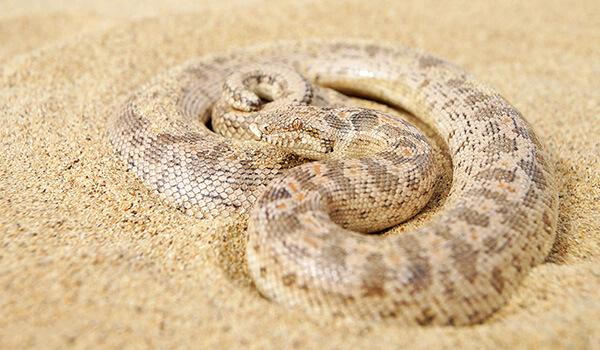 Фото: Песчаный удавчик в пустыне