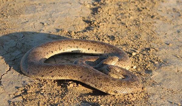 Фото: Песчаный удавчик