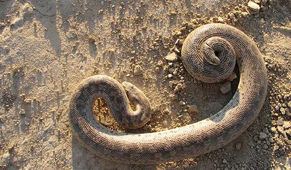 Фото: Как выглядит песчаный удавчик