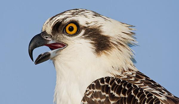 Фото: Птица скопа