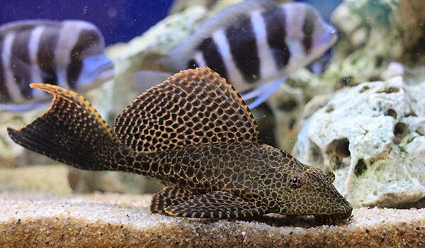 Фото: Рыба плекостомус