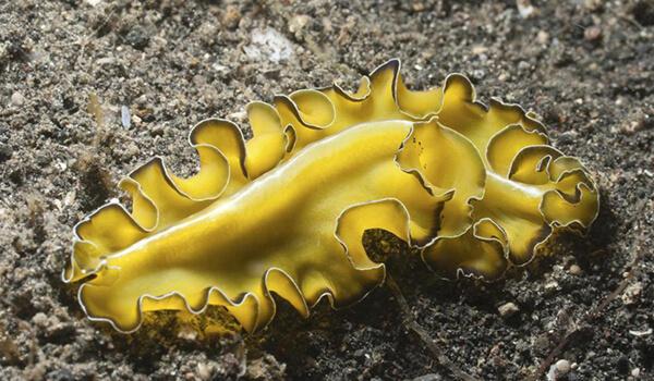 Фото: Плоский кольчатый червь
