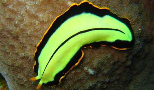 Фото: Зеленый плоский червь