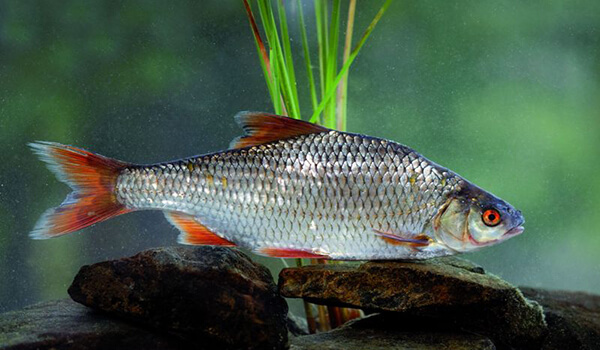 Фото: Рыба плотва