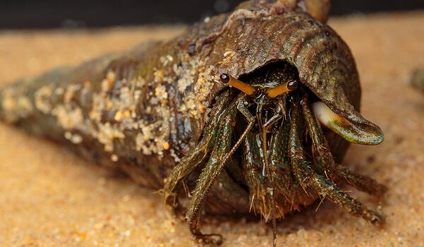 Фото: Морской рак отшельник