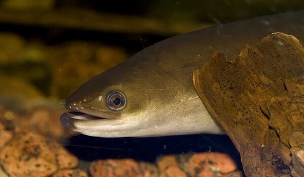 Фото: Рыба речной угорь