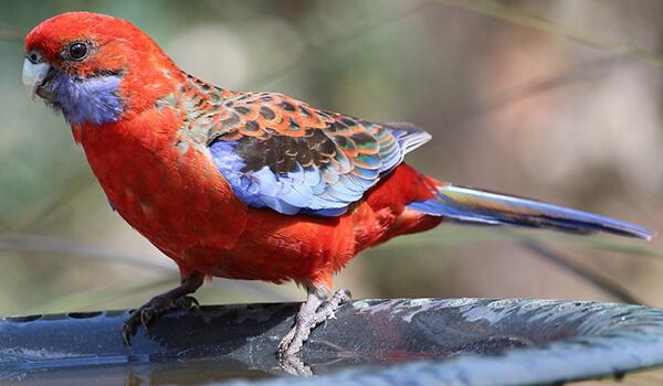 Фото: Птица розелла